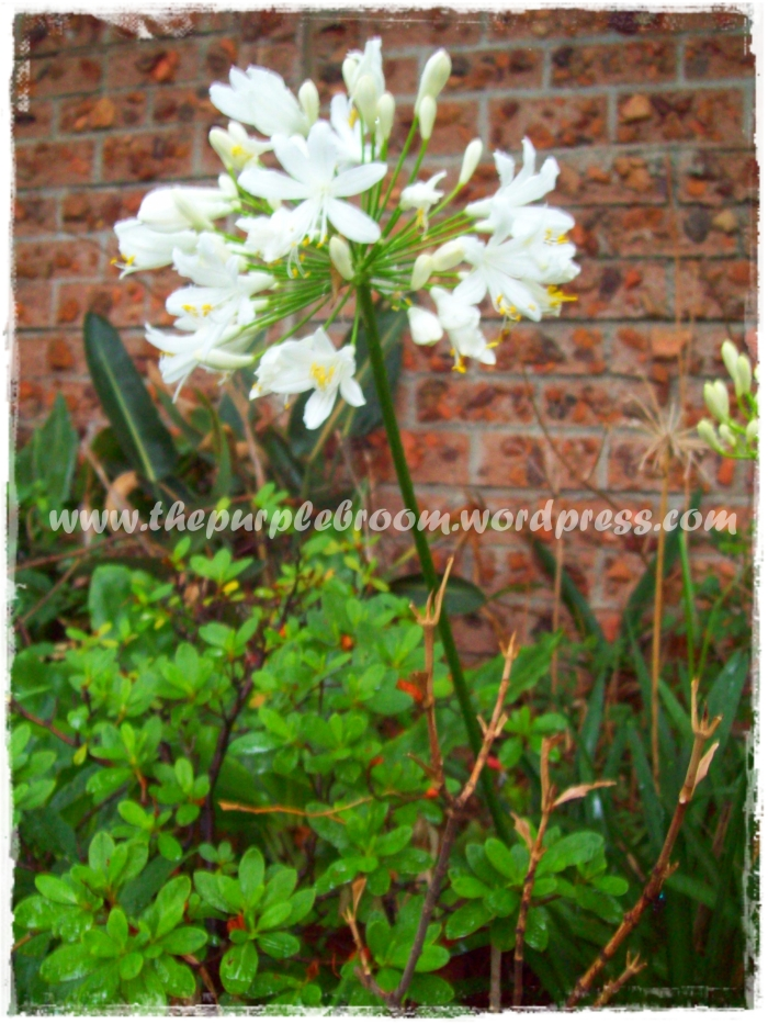 white-agapanthus