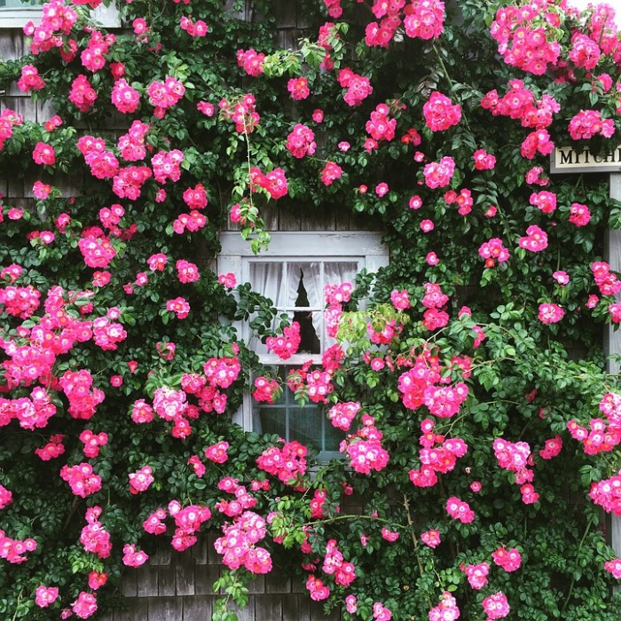 Pink Window Summer Garden Cottage Roses Flowers