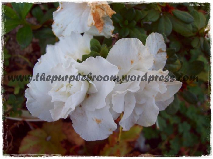 azalea-closeup