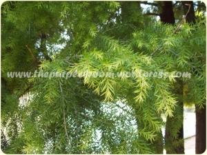 black-tea-tree