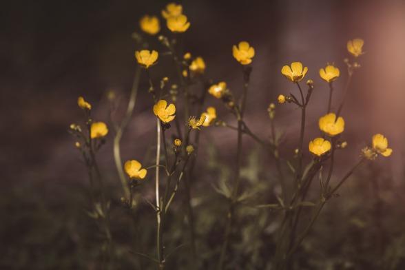 buttercup-2445001_1920