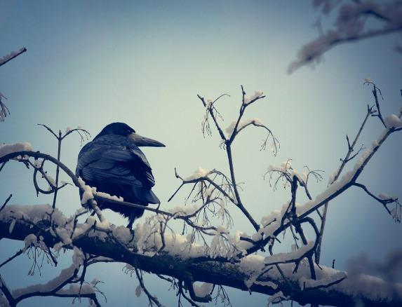 crow-631740_1920
